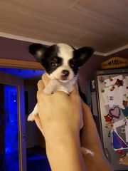 Chihuahua- Welpe