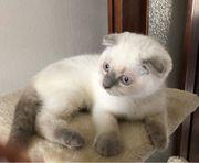 Zuckersüße BKH Kitten scottish Fold