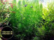 Rotstängeliges Hornblatt Mexiko Aquarienpflanzen Versand