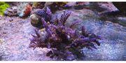Meerwasser Acropora multicolor stock