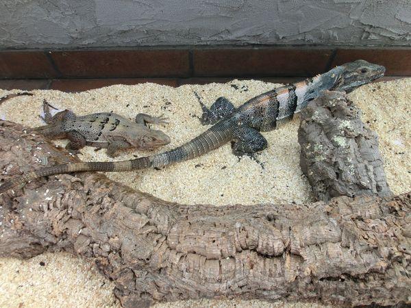 1 1 Schwarzere Leguane