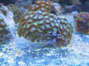 meerwasser korallen krustenanemonen tiere nano