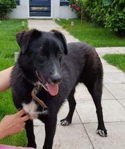 LEXI - 1 Jahr Labrador-Schäferhund Mix