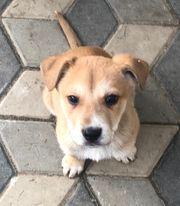Dogo Canario Mischlingswelpen