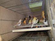 Ich verkaufe schöne Kanarienvögel 2020männlich