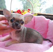 Chihuahua Welpen aich MINI b