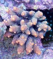 Meerwasser Korallenableger SPS LPS und