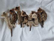 Bengalkitten wunderschöne einmalige Zeichnung auch