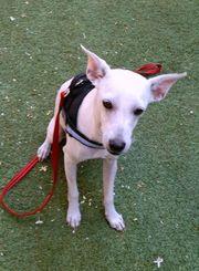 Terrier mix Rüde Pico sensibel