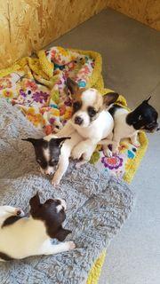Zuckersüße Chihuahua Welpen