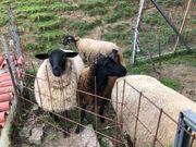 3 Schafe zu verkaufen