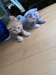 britisch Kurzhaar mix kitten Kätzchen