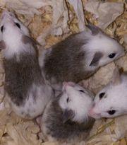 Diese Woche Vielzitzen Mäuse