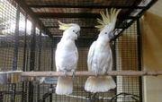 Suchen Gelbhauben Kakadu Hahm oder