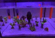 Korallen Ableger ab 5 - Acropora -