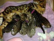 Süße Bengalkatzen