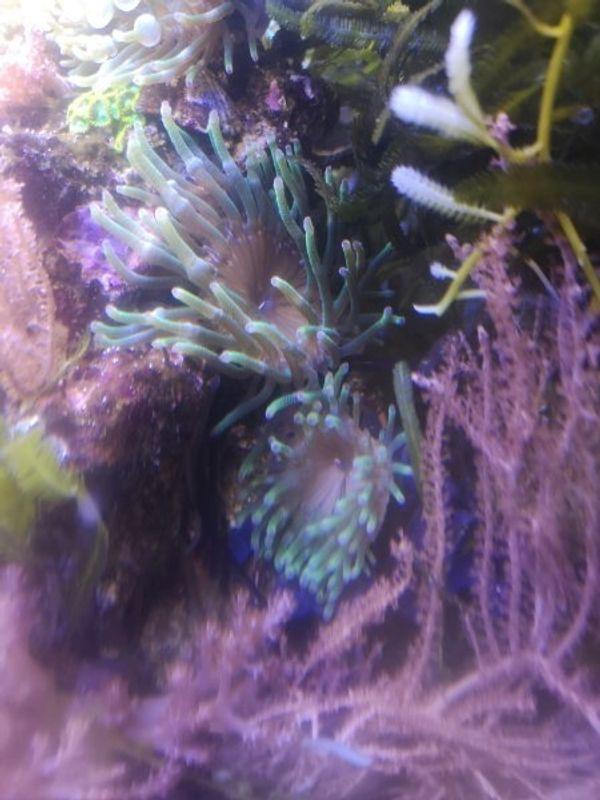 Mini Anemonen