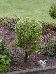 Buchsbaum-Liebhaber aufgepasst