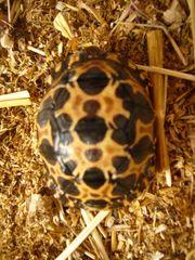 Madagaskar Strahlenschildkröten Astrochelys radiata Nachzuchten