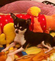 Reinrassiger Chihuahua Deckrüde mit Ahnentafel