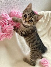 Mix-Kitten BKH