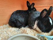 Kaninchen paarweise 3 Paare