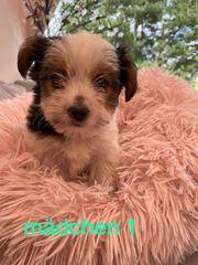 Biewer Mini Yorkshire Terrier