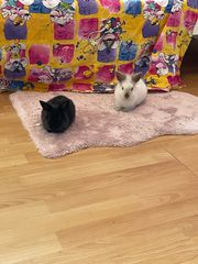 2 Kaninchenböcke 3 5 Monate