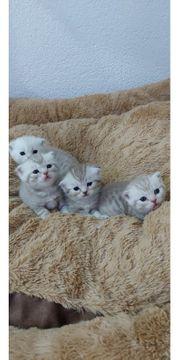 Wunderschöne Scottisch Fold BKH Kitten