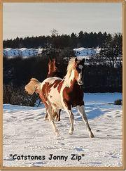 Traumhaftes Paint Horse Hengst Jährling-