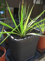 winterharte Yucca Yucca filamentosa Colour