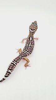 leopardgecko NZ 21 Männchen