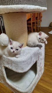 Wunderschöne BKH-Kitten abholbereit