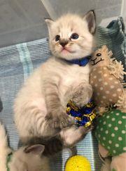 Ragdoll Katzenbaby