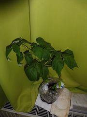 Junge Himbeerpflanze zum Einpflanzen
