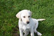 Labrador Welpen mit Papiere