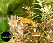 Orange Sakura Garnele Zwerggarnele reinerbig