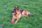 Schäferhund Rüde 13 Monate