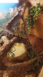 Königspython Python Regius Abzugeben