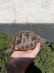 Maurische Landschildkröte Tesutdo Graeca