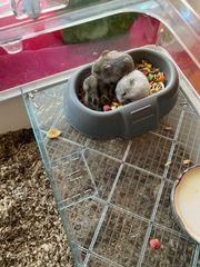 Hamsterbabys Zu verkaufen Letzte Chance