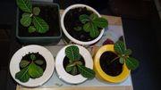 Spuckpalmen Euphorbia leuconeura Setzlinge in