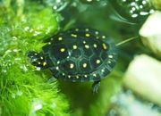 0 01 Tropfenschildkröten Clemmys guttata