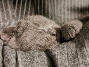 Bkh kitten männlich weiblich