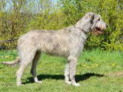 Irish Wolfhound Wurfplanung
