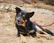 Gemütlicher Menschenfreund Schäferhund Mischling Buceto