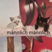 reinrassige BKH Kitten-abholbereit