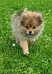 Wunderschöne Pomchi Welpen Chihuahua x