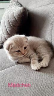 Reinrassige BKH Kitten Abgabebereit