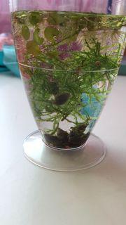 Wasserschnecken aus Süßwasser-Aquarium - von Privat